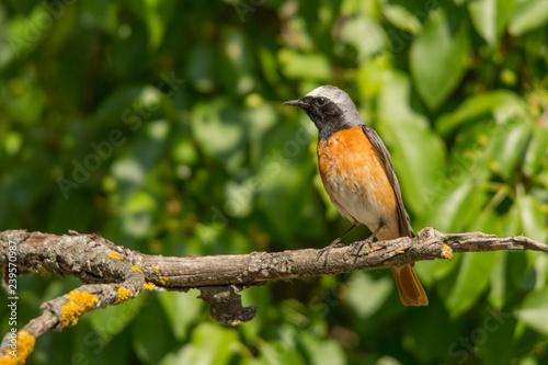 Photographie Common Redstart / Phoenicurus phoenicurus