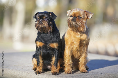 Brussels Griffon Dogs Griffon Belge And Griffon Bruxellois Sitting Together Outdoors On A Concrete Floor In Autumn Buy This Stock Photo And Explore Similar Images At Adobe Stock Adobe Stock