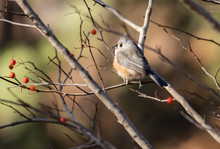 Tufted Titmouse In Winter Light