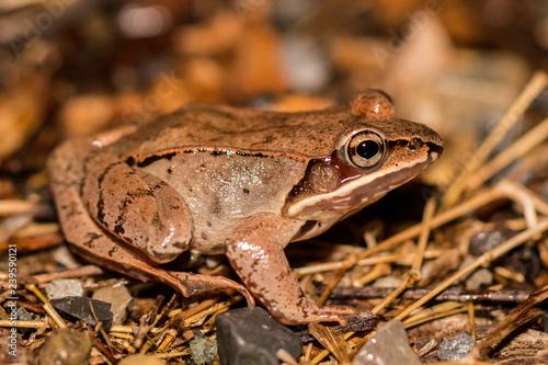 Canvas Print Closeup of a wood frog - Lithobates sylvaticus