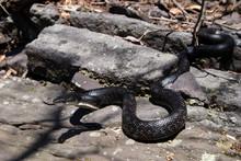 Eastern Black Rat Snake - Pantherophis Alleghaniensis