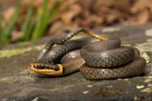 Northern Ring Neck Snake - Diadophis Punctatus Edwardsii