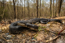 Eastern Black Rat Snake - Pant...
