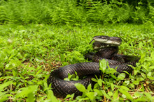 Eastern Black Rat Snake - Pant...