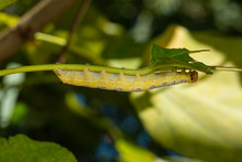 Catalpa Sphinx Caterpillar - C...