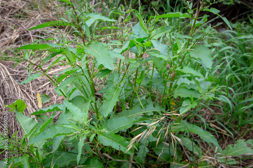 Fotografia, Obraz  Broad-leaved dock is an invasive weed in rural areas