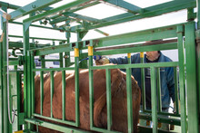 Cow Being Sprayed