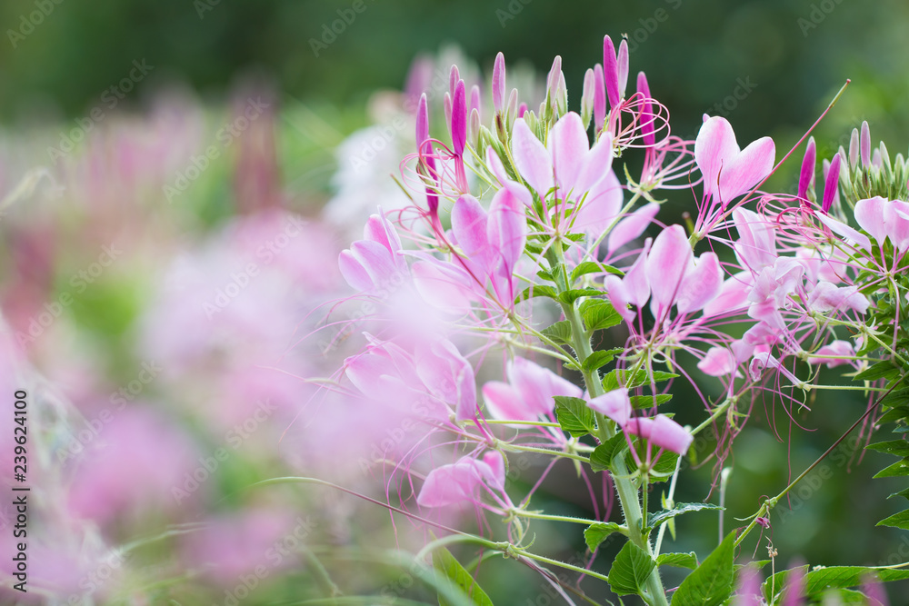 Beautiful Cleome spinosa or Spider flower in the garden, Nature background