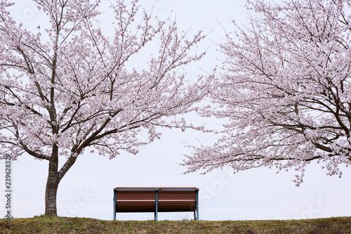 桜の木とベンチ