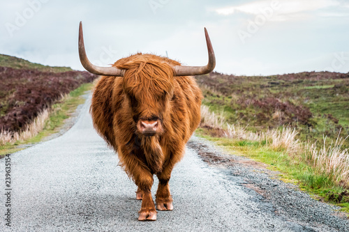 Fototapeta  Scottish Highland Cattle bull with big horns stands on a street in Scottish Highlands, Scotland, Great Britain obraz