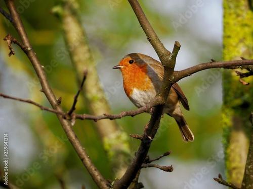 Ingelijste posters Vogel Robin in a Tree