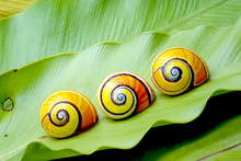 Cuban Snail (Polymita Picta) : Most Colorful Land Snail From Cuba, Painted Snail On Green Fern Leaf.