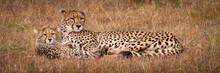 Panorama Of Cheetah And Cub Lying Down