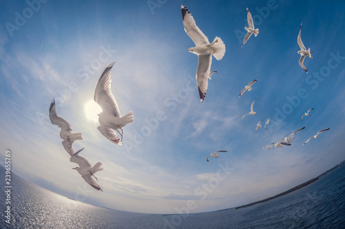 Fotomural flock of seagulls flying over the sea with a background of blue sky, fisheye dis