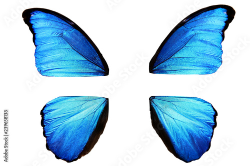 natural blue butterfly wings disassembled into four parts