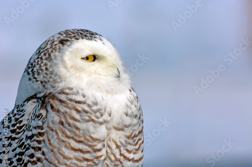 Close up Headshot of Snowy Owl hunting in winter, profile view, blue sky background.