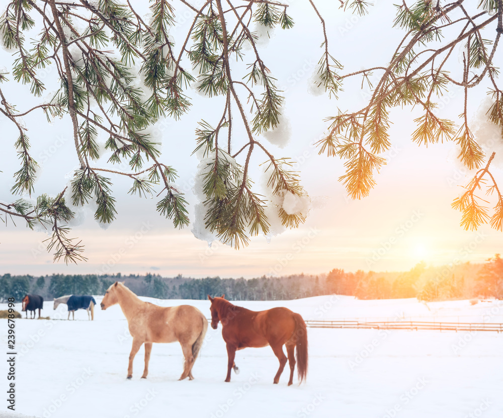 Winter view. Horses on the field eat hay, winter farm, forest in the frost on the horizon. USA. Maine.