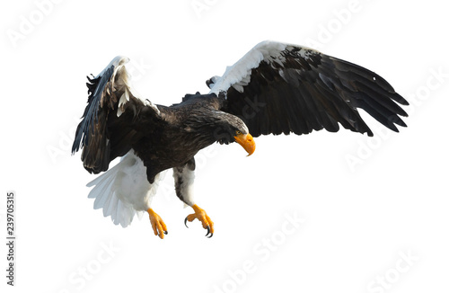 Poster Aigle Adult Steller's sea eaglein flight spread his wings. Scientific name: Haliaeetus pelagicus. Isolated on white background.