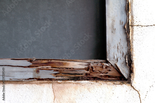 Fotografie, Obraz  termite nest at wooden wall, nest termite at wood decay window sill architrave,
