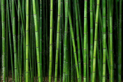Photo sur Toile Bambou bamboo forest pattern