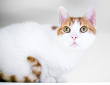 A Domestic Shorthair Cat With White And Orange Tabby Markings Crouching In An Apprehensive Position
