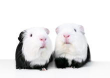 A Pair Of Black And White Guinea Pigs