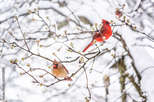 Fotomural Two red northern cardinal, Cardinalis, birds couple perched on tree branch durin