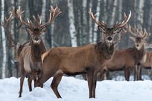 Herd Of Noble Deer  Cervus Elaphus  In The Natural Habitat In Winter Time: One Buck Stands Sideways In Profile, Others - Frontally. Trophy Stag, Artistic Wildlife Photo. Vitebsk Region, Belarus.