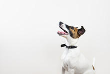 Cute Intelligent Puppy Looking Up In White Background. Smooth Fox Terrier Dog Sitting In Isolated Studio Background