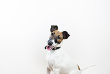 Cute Intelligent Puppy In White Background, Front View. Smooth Fox Terrier Dog Sitting In Isolated Studio Background