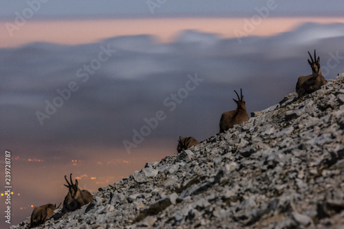 Night view of Apennine chamois in the slope of Focalone Mount, Murelle amphitheater, and in the backgound the towns of Adriatic coast lighting, Majella national park, Abruzzo, Italy, Europe