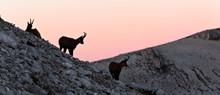 Silhouette Of Apennine Chamois...