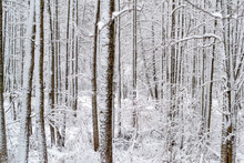 Trunks Of Snow-covered Trees A...