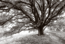 Giant Oak Tree Covered In Dew, In Black And White