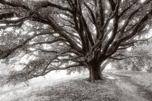 Giant Oak Tree Covered In Dew,...