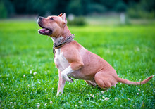 American Staffordshire Terrier Sitting  On Green Lawn  Outdoors Shot