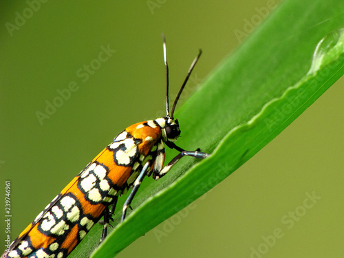 Fotografie, Obraz  Orange, White and Black Insect Macro