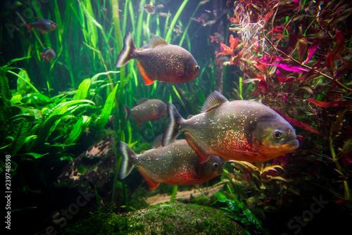 Fototapeta piranha fish underwater close up portrait