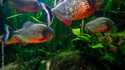 Fotografie, Obraz piranha fish underwater close up portrait