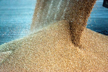 Grains, Cereal Being Delivered At A Agricultural Silo For Storage And Drying