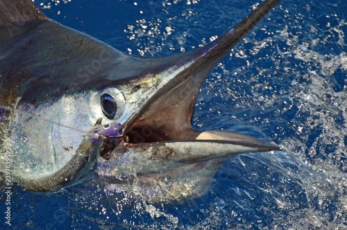 Photo  Sailfish in Costa rica