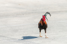 Key West, USA Wild Rooster Chicken Bird One Animal Walking Crossing Street Road During Sunny Day In Florida Island