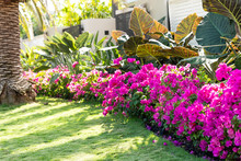 Vibrant Pink Bougainvillea Flowers In Florida Keys Or Miami, Green Plants Landscaping Landscaped Lining Sidewalk Street Road House Entrance Gate Door During Summer