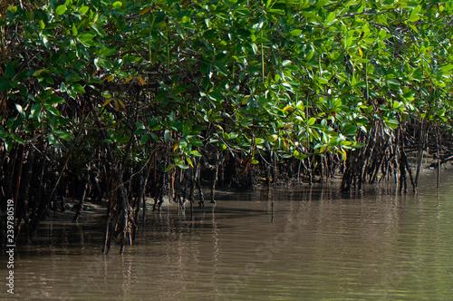 Fotografia  mangrove forest nature near water in an estuary