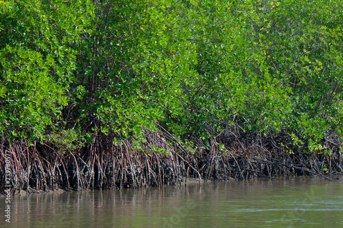 Foto  mangrove forest nature near water in an estuary