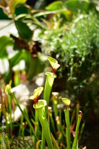 Fotomural  食虫植物