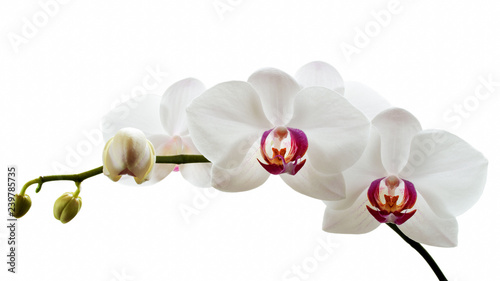 White orchid phalaenopsis with flowers and buds on the branch. Isolated on white background. Detail of the design.