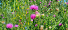 Pink Milk Thistle Flower In Bl...
