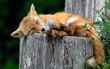 cute sleepy red fox resting on a trunk