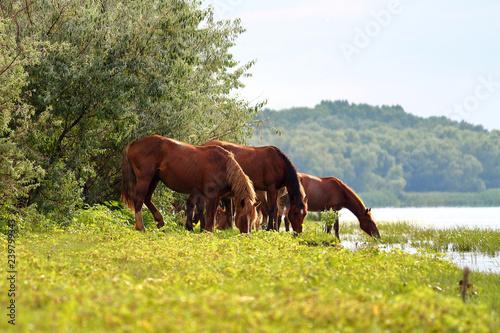 Fotografie, Obraz  Herd wild horses graze in the meadow